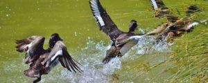 Birds on the Ladoga Lake