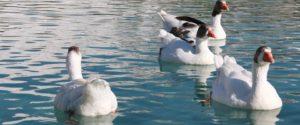 Oiseaux au repos sur l'eau