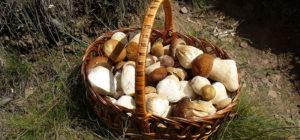 A basket of porcini mushrooms