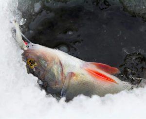 Un poisson pêché sur la glace
